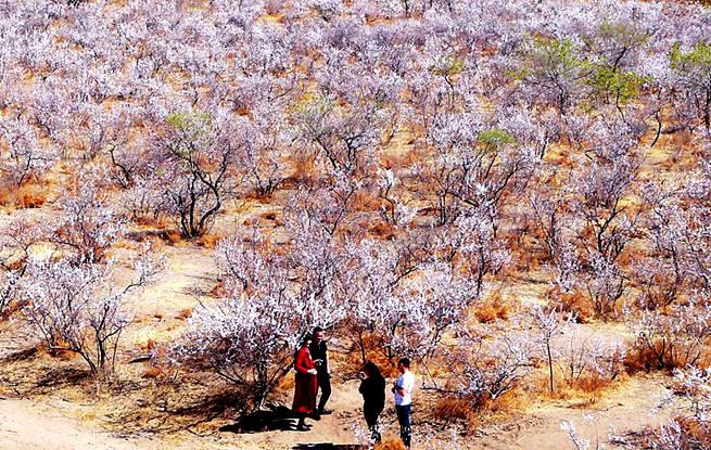 吉林:通榆县包拉温都乡万亩野生杏树林引八方游客